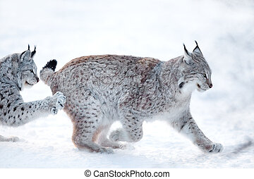 Two lynx playing in the snow - Eurasian lynx runs and...