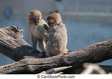 Macaque (Snow) Monkey's playing with a pacifier in soft focus