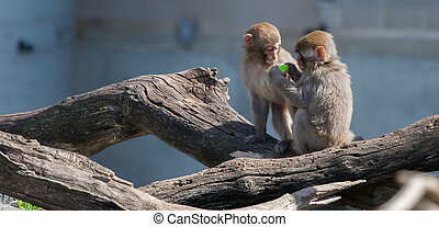 Macaque (Snow) Monkey's playing with a pacifier