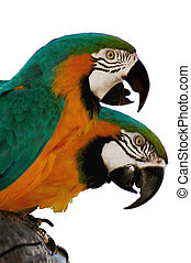 TWO MACAW PARROTS 1 - Two macaw parrots