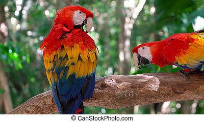 Two macaw parrots