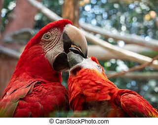 Two Macaws on a Perch