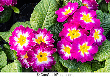 Two magenta flowering primrose plants - Two beautiful...
