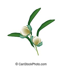 Two Magnolia Coco Blossoms on White Background