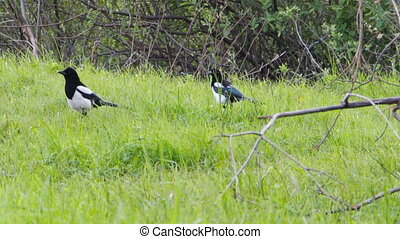 Two magpies on meadow