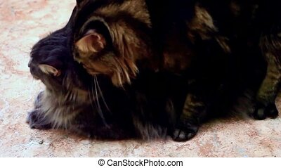 Two Maine coon having love cats.