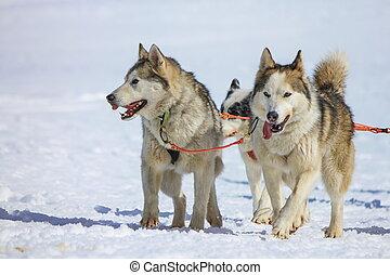 Two malamute dogs at race in winter, Moss pass, Switzerland