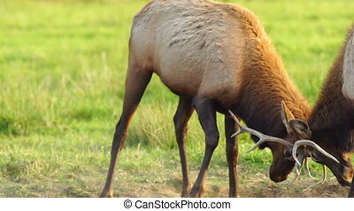 Two Male Bull Elk Sparring Testing Big Game Animal Wildlife...