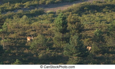 Two male deers walking in the bush at dusk - Two male deers...
