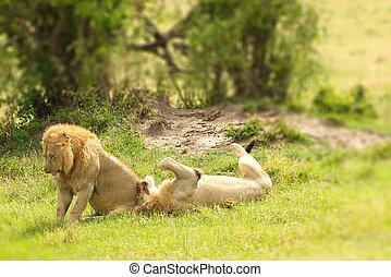 Two male lions in Masai Mara National Park - Kenya