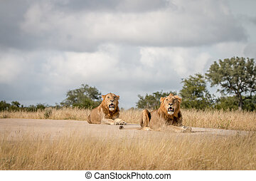Two male Lions laying on the road.