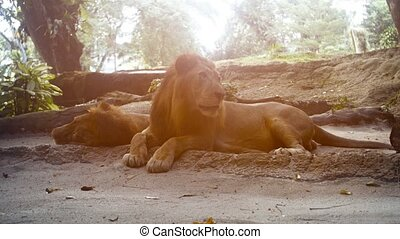 Video 2160p - Two enormous male lions, resting in the shade in their habitat enclosure at a popular.