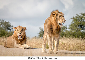 Two male Lions resting on the road.