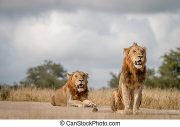 Two male Lions sitting on the road.