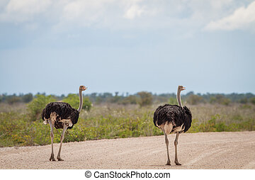 Two male Ostriches on the road.