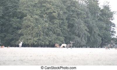 Two male red deer fighting - Two male red deer,?Cervus...
