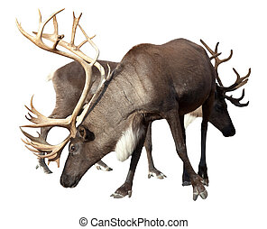 Two male reindeer  - Two male reindeer. Isolated over white