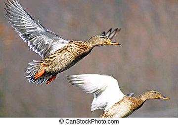 Two Mallard ducks fleeing from hunters
