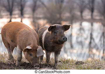 Two mangulista pigs on the field