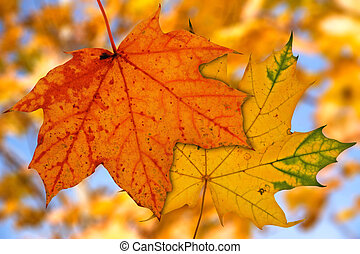 maple leaves on blurry autumnal background