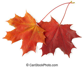 two maple leaves