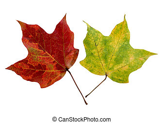 Two Maples Leaves