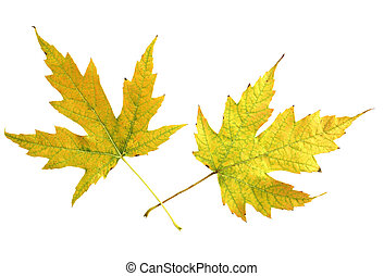 Two Mapple Leaves