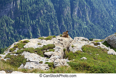 two marmots stand on rocks in alpine valley