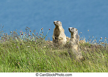 two marmots stands out of its den, Gran Paradiso National Park, Italy