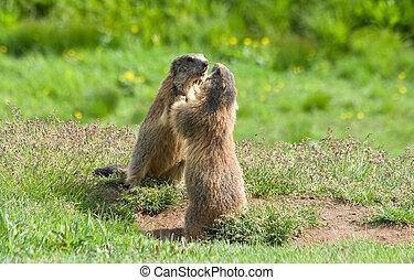 two marmots struggle in a green meadow in Italian dolomites