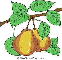 Two mature yellow pears with leaves on a branch. A vector
