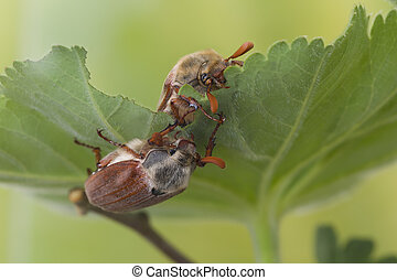 Two maybugs on leaf - Maybeetle in springtime eating leaves