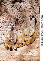 Two Meerkats relaxing.