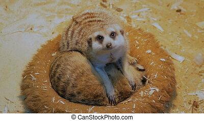 Two meerkats sleeping in their house - Two cute meerkats...