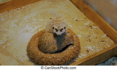 Two meerkats sleeping in their house