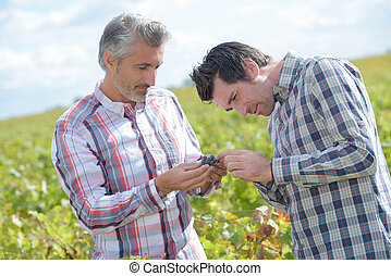 Two men inspecting grapes