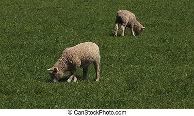 Merino sheep lamb in the paddock