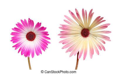 Two mesembryanthemum flowers