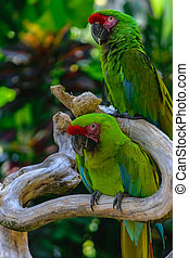 Two Military Macaw parrots sitting on the branch in front of palm trees