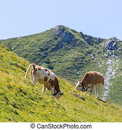 two milk cows in alpine pasture in Switzerland