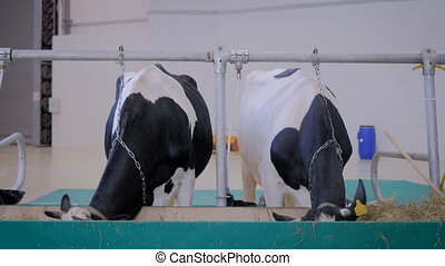 Two milking cows eating hay at agricultural animal exhibition, trade show