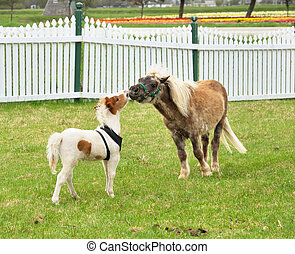 horses - two miniature horses on a spring field