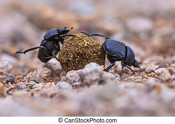 Two hard working dung beetles putting a lot of effort in rolling a ball through gravel