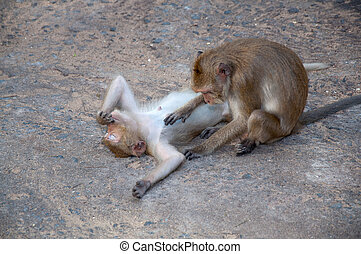 Two monkeys cleansing each other