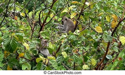 Two monkeys eating fruit on the tree