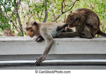 Two Monkeys find ticks.