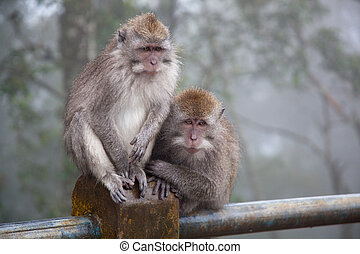 Two monkeys in cloudy weather sit on a metal fencing