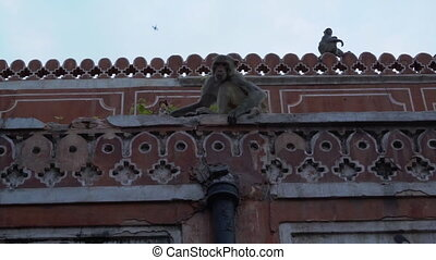 Two monkeys relax on rooftop of building. - A pair of Rhesus...