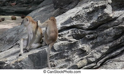Two monkeys try to discover parasites in wool each other