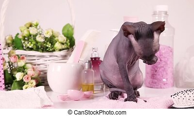 Two months old Don Sphinx kitty cat performing morning...